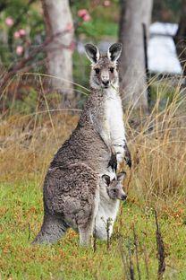Canguru fêmea junto com seu filhote  Foto: http://pt.wikipedia.org
